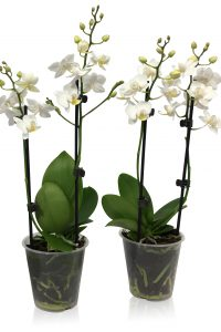 Cympha Phalaenopsis 9 cm