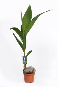 cocos 140 cm