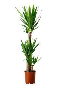 marginata yucca