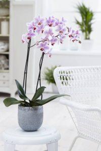 cj orchids foto3