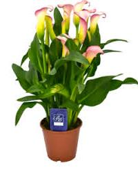 BB Plant foto2