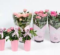 rosa danica foto1