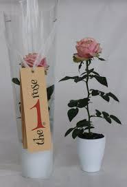 rosa danica foto4